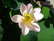 Fleur de lotus (Nelumbo nucifera)