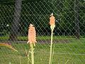 Fleur orange 2.jpg