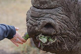Black rhinoceros - Chewing on plants