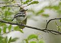 Flickr - Rainbirder - Pale Batis (Batis soror) (1).jpg
