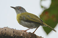 Flickr - Rainbirder - Yellow-breasted Apalis (Apalis flavida)
