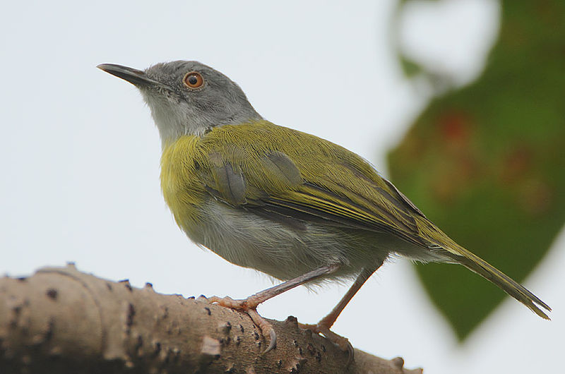 Picha:Flickr - Rainbirder - Yellow-breasted Apalis (Apalis flavida).jpg