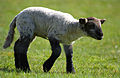 Flickr - law keven - On the Lamb....jpg