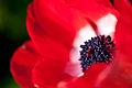 "Flower, Anemone ""De Caen"" - Flickr - nekonomania (1).jpg"