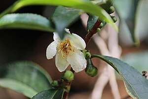 Camellia sinensis - Flower of tea plant