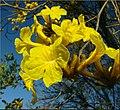 Flowers, Parkwood and Olive, Redlands 1-24-13b (8595963424).jpg