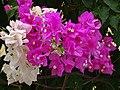 Flowers - Nicosia - Cyprus (28393390841).jpg