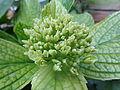 Flowers Nepal 9937.JPG