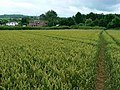 Footpath through wheat, Chelwood - geograph.org.uk - 482655.jpg