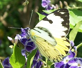 Forest White female 20 03 2011 2.JPG