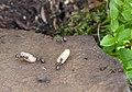Formica lemani (Ants on Ilkley Moor) - geograph.org.uk - 874522.jpg