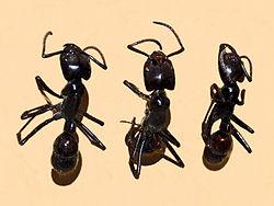 Formicidae - Dinoponera gigantea.JPG
