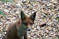 Fox, sat, gravel (2742650124).jpg