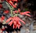 Freesia caryophyllacea 01.jpg