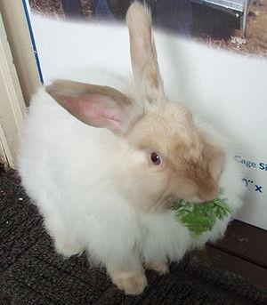 Angora rabbit - A French Angora rabbit