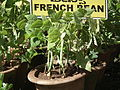 French bean plant from lalbagh 2333.JPG