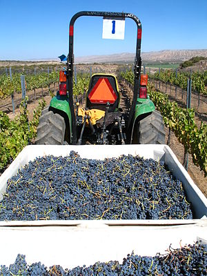 English: Freshly harvested grenache grapes in ...