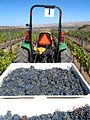 Freshly harvested grenache grapes.jpg