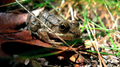 Frog in the grass (6007626482).png