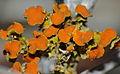 Fruticose Lichen (Teloschistes chrysophtalmus) (8558189274).jpg