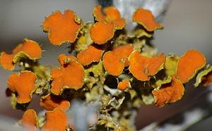 Fruticose lichen - Teloschistes chrysophtalmus