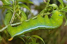 Fully grown oleander hawk moth caterpillar.jpg