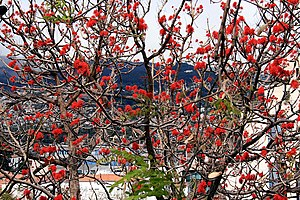 Erythrina - Erythrina abyssinica in flower, Funchal (Madeira)