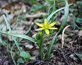Gagea pratensis18032004 plante.JPG