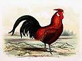 Gallus gallus domesticus - Goudpelshaan 1869.jpg