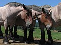 Galmaarden - Congobergstraat - Brabantse Trekpaarden 3.jpg