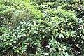 Gardenia taitensis 4zz.jpg