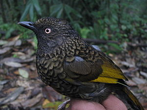 Scaly laughingthrush - Garrulax subunicolor from Eaglenest WLS, Arunachal Pradesh, India.