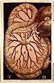 Gaspare Asellius, De lactibus sive lacteis venis Wellcome L0021944.jpg