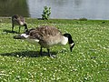 Geese at Forty Hall - geograph.org.uk - 479916.jpg