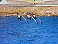 Geese in formation for landing.jpg