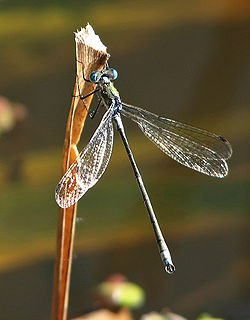 Gemeine Binsenjungfer (Lestes sponsa).jpg