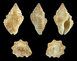 Gemophos auritulus 01.JPG