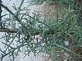 Genista scorpius 3.JPG