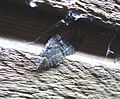 Geometridae. Epyaxa sodaliata - Flickr - gailhampshire (2).jpg