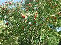 Gfp-random-berry-tree.jpg