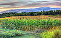 Gfp-wisconsin-wyalusing-state-park-cornstalks-at-dusk.jpg