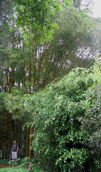 Giant Bamboo in Ecuador with a person next to ...