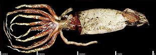 Calamaro gigante della lunghezza di 4 metri, senza contare i due lunghi tentacoli utilizzati per la caccia