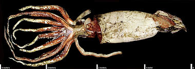 Photo of squid with prominent eye