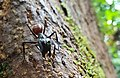 Giant forest ant (C. gigas) soldier (1).jpg