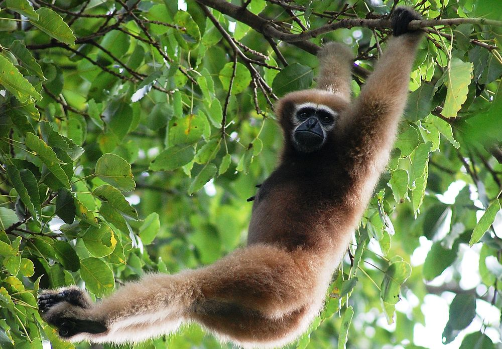 The average litter size of a Hoolock gibbon is 1
