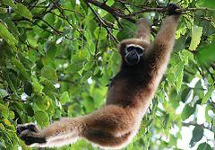 Gibbon Hoolock de l'ouest.JPG