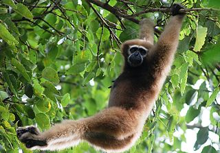 Hoolock gibbon Genus of apes