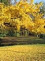 Ginkgo branches 2.jpg