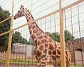 Giraffe Enclosure at Edinburgh Zoo 1984.jpg